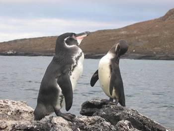 A new study compared sea surface temperatures with endangered Galapagos Penguin population counts and found that the penguin population doubled while waters cooled around their nesting islands.