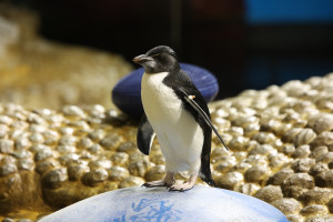 Rockhopper-Penguin-Chick_2-300x200