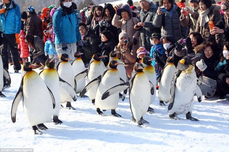 Penguins are taken on walks through the snow at Asahiyama Zoo twice a day from December to March