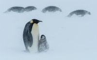 penguins-snow-hudd_3542214k